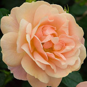 New Beginnings Floribunda Rose - 3 Ltr Pot