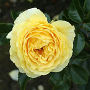 Summer Gold Floribunda Rose - 3 Ltr Pot