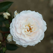 Cheek To Cheek Climbing Rose - 4 Ltr Pot