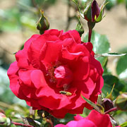 Tradition Climbing Rose - 4 Ltr Pot