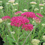 Achillea Desert Eve Deep Rose - 2L Pot