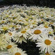Leucanthemum Broadway Lights - 2 Litre Pot