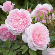 Lady Salisbury Shrub Rose 6L