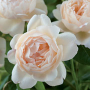 Wollerton Old Hall Shrub Rose 6L