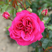 Truly Loved Floribunda Rose - 3 Ltr Pot