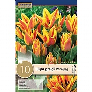 Tulip Greigii Winnipeg - (10 Bulbs)