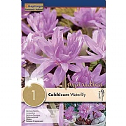 Colchicum Waterlily - (1 Bulb)