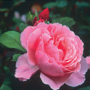 Brother Cadfael Shrub Rose 6L