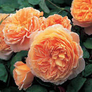 Crown Princess Margareta Shrub Rose 6L