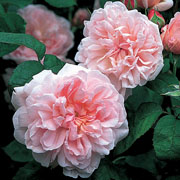 Eglantyne Shrub Rose 6L