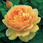 Golden Celebration Shrub Rose 6L