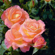 Inspiration Floribunda Rose - 3 Ltr Pot