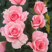 You're Beautiful Floribunda Rose - 3 Ltr Pot