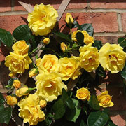 Gold Charm Climbing Rose - 4 Ltr Pot