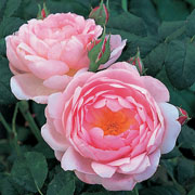 Scepter'd Isle Shrub Rose 6L