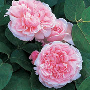 St Swithun Shrub Rose 6L