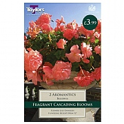 Begonia Aromantics Exotic - 2 Bulbs