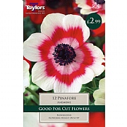 Anemone Pinafore - 12 Bulbs