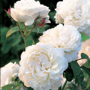 Winchester Cathedral Shrub Rose 6L