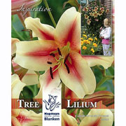 Tree Lilium Lavon (Pack of 3)