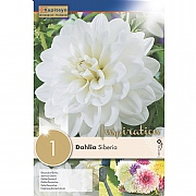 Dahlia Siberia Decorative - 1 Bulb