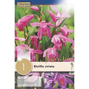 Bletilla Striata (Single)