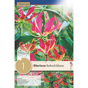 Gloriosa Rothschildiana (Single)