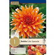 Dahlia Colour Spectacle (Single)