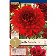 Dahlia Decorative Garden Wonder (Single)