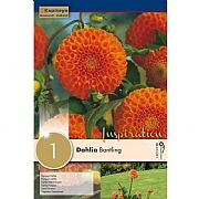 Dahlia Bantling (Single)
