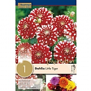 Dahlia Little Tiger (Single)