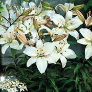 Lilium Reinesse (Pack of 3)
