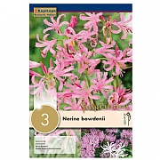 Summer Bulbs - Nerine