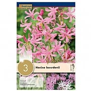 Nerine Bowdenii (Pack of 3)