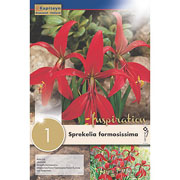 Sprekelia formosissima (Single)