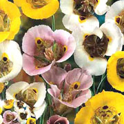 Summer Bulbs - Miscellaneous