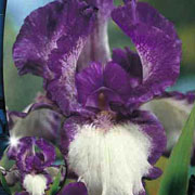 Iris germanica Stepping Out (Pack of 2)