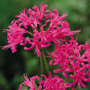Nerine Bowdenii (Pack of 6)