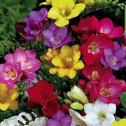 Freesia Mixed (Pack of 40)