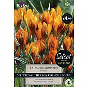 Crocus Orange Monarch (12 Bulbs)