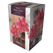 Amaryllis Sweet Nymph Gift Pack