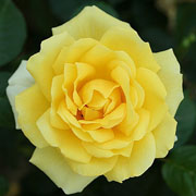 Guy's Gold Floribunda Rose - 3 Ltr Pot