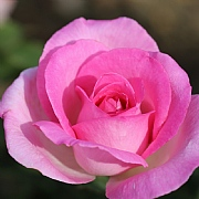 Pink Perfection Hybrid Tea Rose 3L