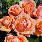 Lady Marmalade Floribunda Rose - 3 Ltr Pot