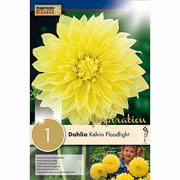 Dahlia Kevin Floodlight (Single)