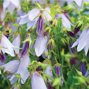 Campanula Iridescent Bells  - 2L Pot
