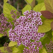 Spiraea Double Play Big Bang 2L