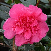 Camellia x williamsii Anticipation 4L Pot