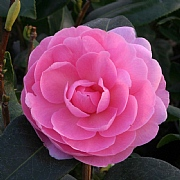 Camellia x williamsii E.G. Waterhouse 4L Pot