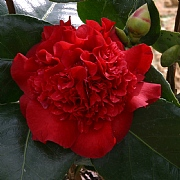 Camellia Ruby Wedding - 4L Pot